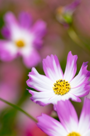 white and pink cosmos flower garden photo