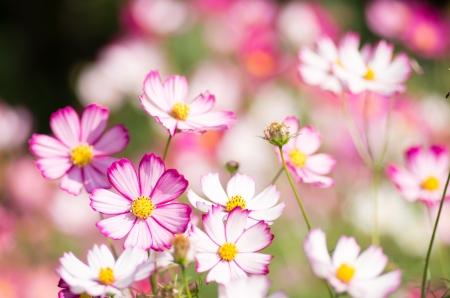 white and pink cosmos flower garden photo