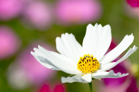 white cosmos flower photo