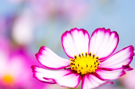 brisk white and pink cosmos flower photo