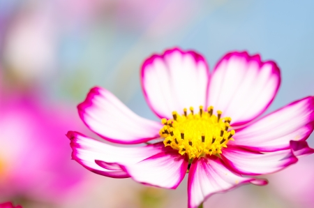 vivid pink and white cosmos flowers photo