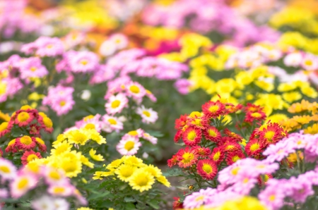 colorful chrysanthemum flowers photo