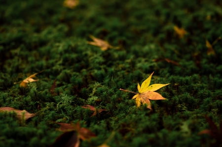 yellow maple leaf on green moss Stock Photo - 23917147