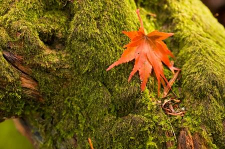orange maple leaves on green moss photo