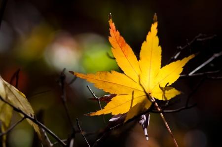 orange and yellow maple leaf photo