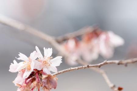 winter pink cherry tree photo