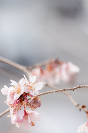 winter pink cherry tree photo