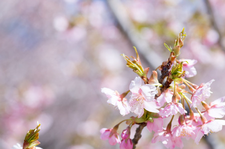 white and pink cherry blossom photo