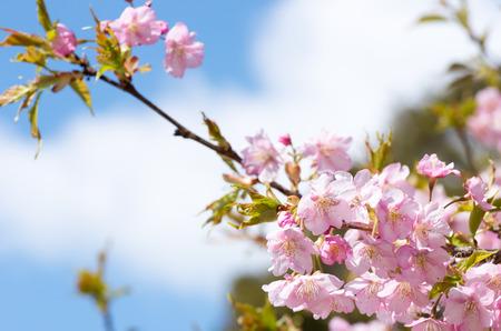 white and pink cherry blossom photo