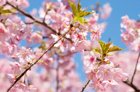 pink cherry blossom photo