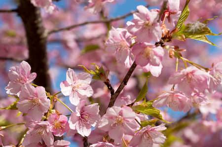 many pink cherry blossom photo
