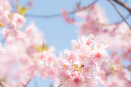 cute pink cherry blossom under blue sky photo