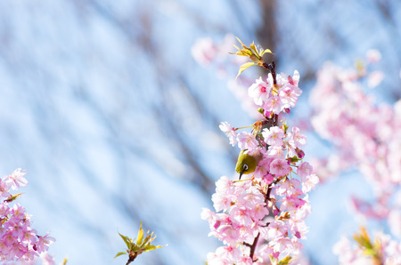 cherry blossom Stock Photo - 26751717
