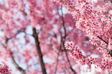 pink cherry blossom flowers Stock Photo - 26890906