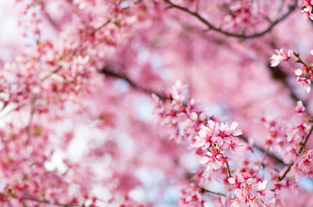 pink cherry blossom flowers Stock Photo - 26890907