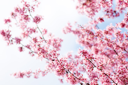 pink cherry blossom flowers photo
