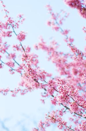 pink cherry blossom flowers photo