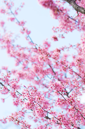 pink cherry blossom flowers Stock Photo - 26890913