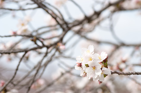 white cherry blossom photo