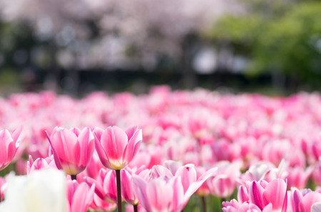 many pink tulip flowers photo