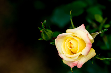 yellow rose flower photo
