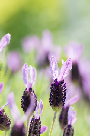 many lavender flowers photo