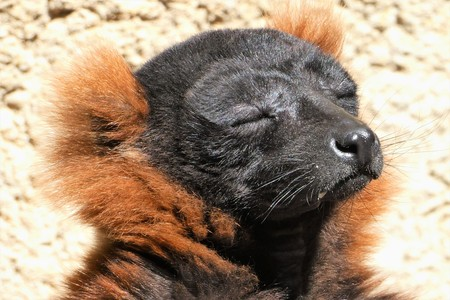 Red Ruffed Lemur Sunbathing 版權商用圖片