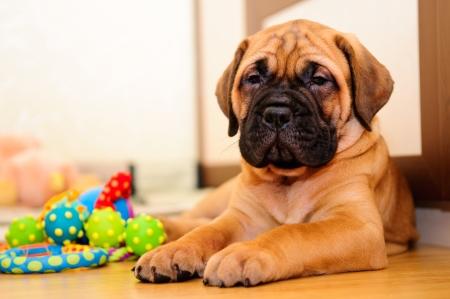 jovenes enamorados: bullmastiff cachorro juega en la casa Foto de archivo