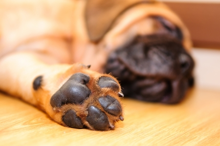 bullmastiff puppy paw close-up