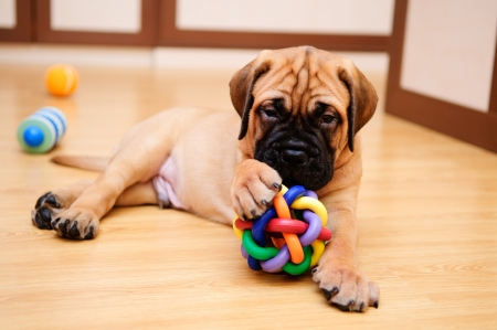 played: little puppy bullmastiff played in the house