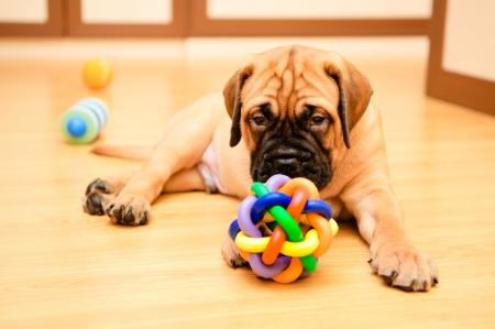 little puppy bullmastiff played in the house Stock Photo - 15200387