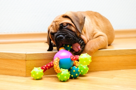 little puppy bullmastiff played in the house Stock Photo - 15199172