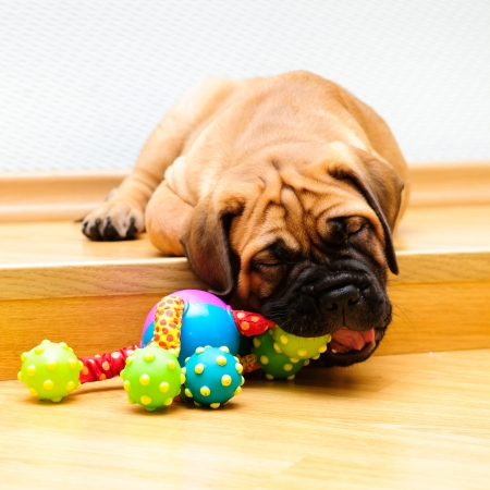little puppy bullmastiff played in the house  square shape pictures Stock Photo - 15200381
