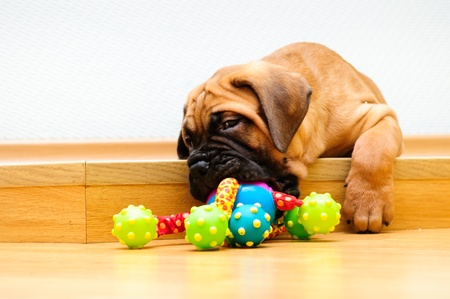 little puppy bullmastiff played in the house   Stock Photo - 15200384