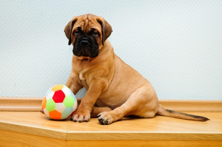 little puppy bullmastiff played in the house   Stock Photo - 15199643