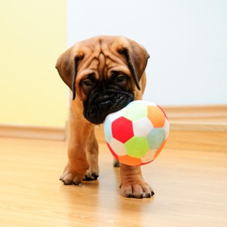 小さな子犬ブルマスティフ演奏家の正方形の写真に
