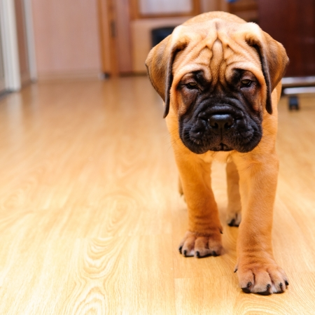 little puppy bullmastiff played in the house  square shape pictures Stock Photo - 15200379