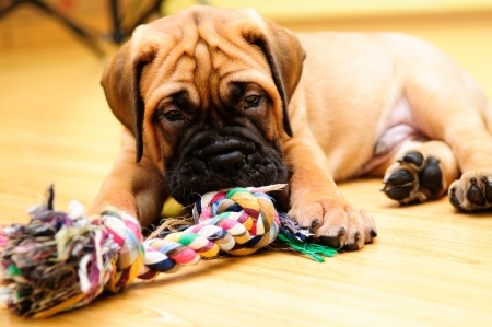 little puppy bullmastiff played in the house Stock Photo - 15199217