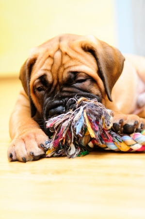 little puppy bullmastiff played in the house Stock Photo - 15199184