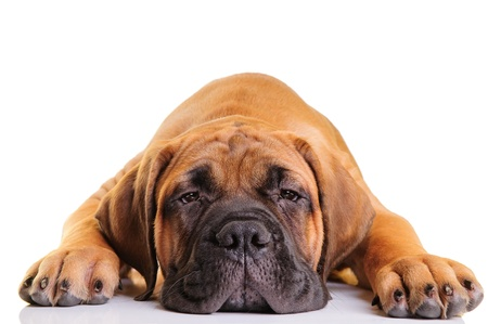 little puppy bullmastiff lies on a white background, isolated
