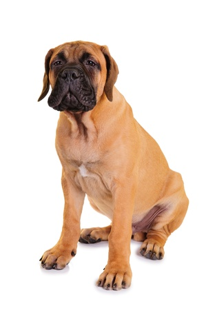 little puppy bullmastiff sitting on a white background, isolated  dog barks Stock Photo - 15818157
