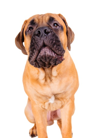 whining: bullmastiff puppy barking loudly. face close up. dog isolated on white background Stock Photo