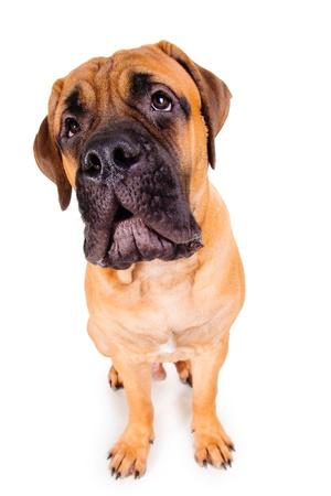 マスティフの子犬は犬の大きなほえ声。顔をクローズ アップ。白い背景で隔離の犬 写真素材