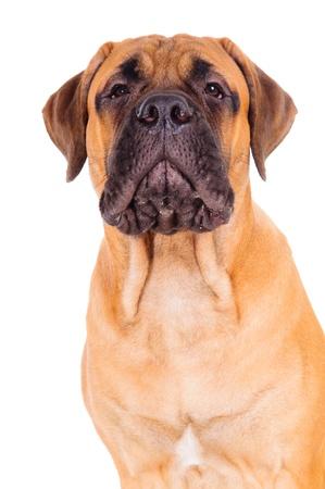 whining: bullmastiff puppy barking loudly  face close up  dog isolated on white background