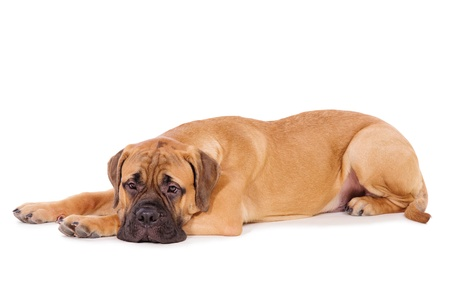 bullmastiff puppy lying on a white background  dog portrait isolated  age 6 months