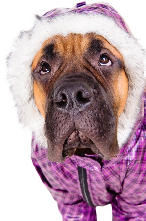 bullmastiff puppy  dog dressed in winter warm clothes  close-up portrait  isolated on white background Stock Photo - 17467667