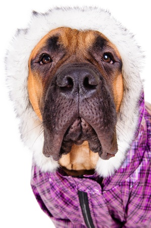 bullmastiff puppy  dog dressed in winter warm clothes  close-up portrait  isolated on white background Stock Photo - 17467670