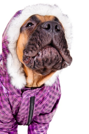 bullmastiff puppy  dog dressed in winter warm clothes  close-up portrait  isolated on white background  animal barks Stock Photo - 17467643