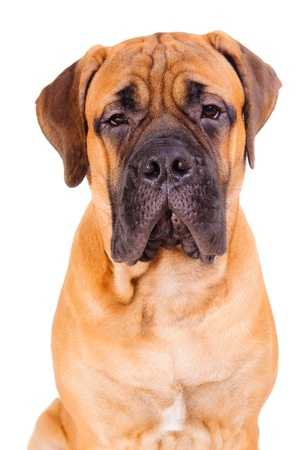 bullmastiff: red bullmastiff puppy face close up  dog isolated on white background Stock Photo