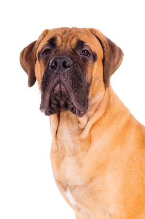 red bullmastiff puppy face close up  dog isolated on white background Stock Photo - 17541690